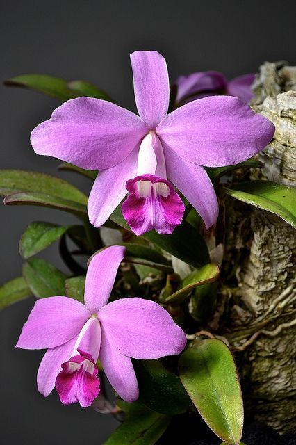 Laelia Pumila Sanbar Sue Orchid Flower Beautiful Flowers Garden Beautiful Flowers