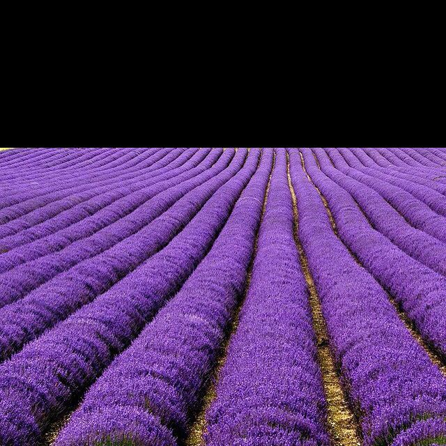 Rows & rows of purple