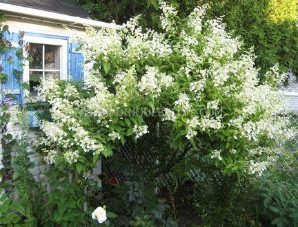 hydrangea paniculata kyushu zone 4 sol ordinaire. Black Bedroom Furniture Sets. Home Design Ideas
