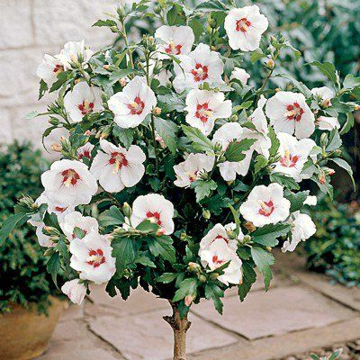 Red Heart Rose Of Sharon Tree Flowers Hibiscus Tree Rose Of