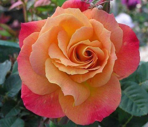Climbing Rose Joseph Coat يا صباح الخيــر وهبـات النسيـم وياصباح النـور ونقــوول السلام السعاده Climbing Roses Flowers Beautiful Flowers