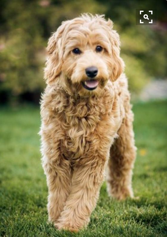 Beautiful golden labradoodle! Australian labradoodle