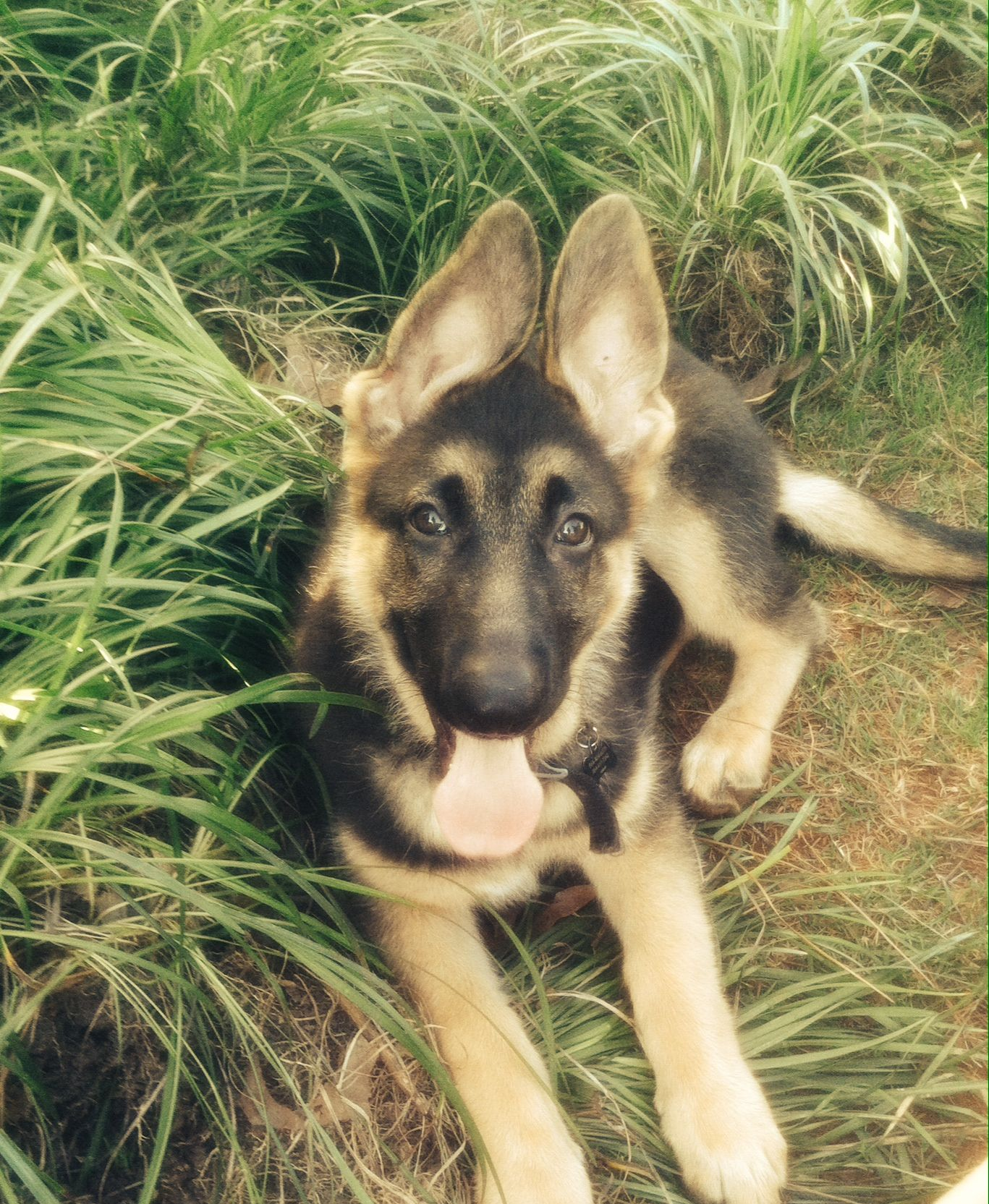3 12 month old german shepherd puppy gsd puppies