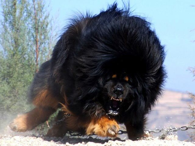 Tibetan Mastiffs Are Extremely Aggressive And Fierce With Anyone