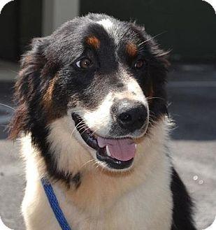 Image Result For Rough Collie Mix Aussie Dogs Unique Dog Breeds
