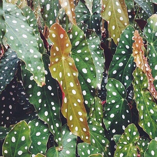 Natural Patterns Plants Begonia Plant Leaves