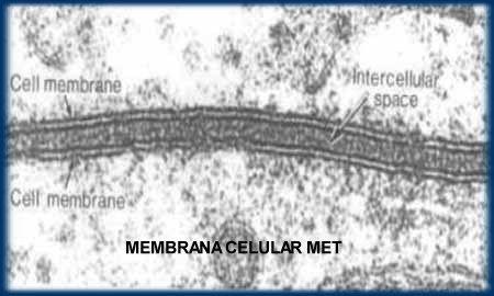 Membrana Celular En Microscopia Electrónica De Transmisión