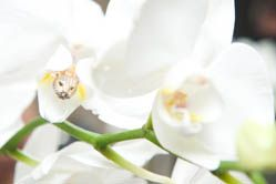 anito ko earring nestled in an orchid blossom