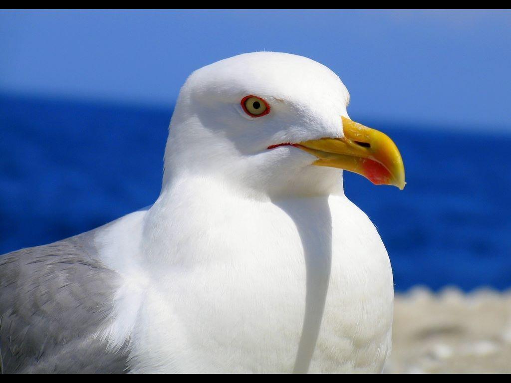 Sea Gull Animals Wild Animal Wallpaper Sea Birds