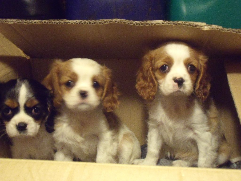 Jackalier pups for sale king charles x jack posot class