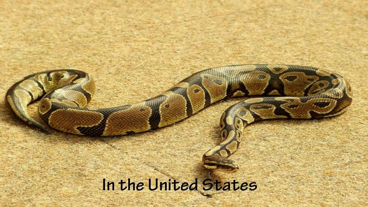 worksheet Life Cycle Of A Snake Worksheet life cycle of python snake snakes land python