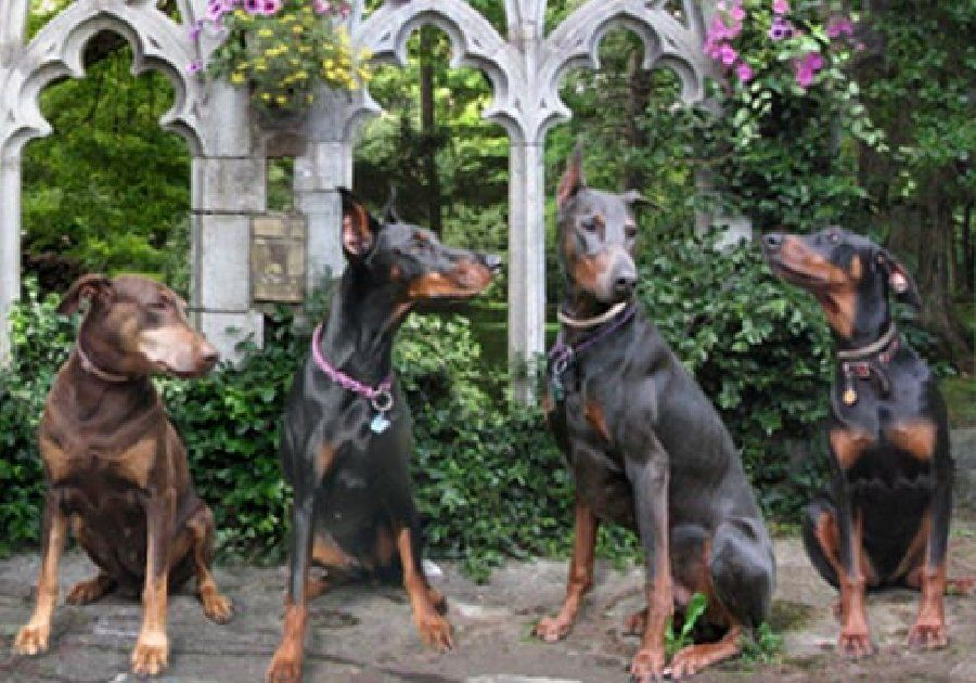 This Group Of Dobermin Pinscher Hangine Out In Connecticut Waiting