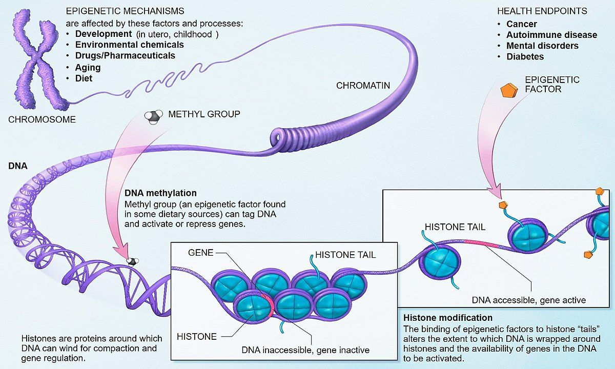 Epigenetics - Wikipedia | Science, Scientists