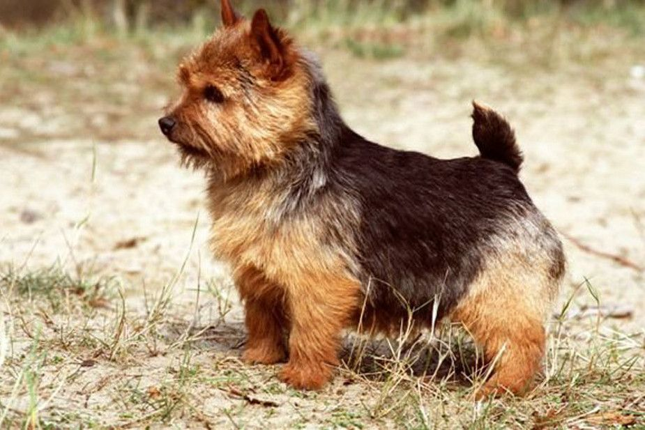 Norwich Terrier Infoveto Mignons Petits Chiens Chien Animaux