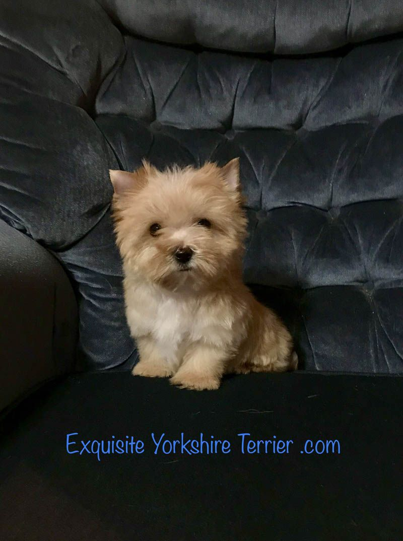 Tan Yorkshire Terrier Puppy Virginia Yorkshire Terrier Breeder Yorkshire Terrier Puppies Yorkshire Terrier Terrier Puppies