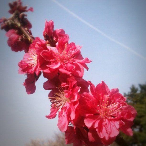 桃の花 - @comfy- #webstagram #cloud #sky