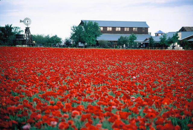 Red Corn Poppy Texas