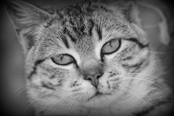 Cat Photography Black and White Print or Canvas by WildRoseGiftBoutique, $15.00