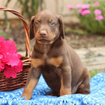 Doberman Pinscher Puppy For Sale In Gap Pa Adn 43245 On