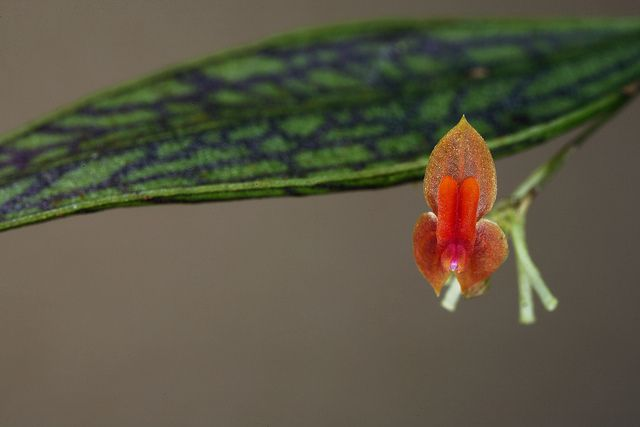 Lepanthes reticulata   Flickr - Photo Sharing!