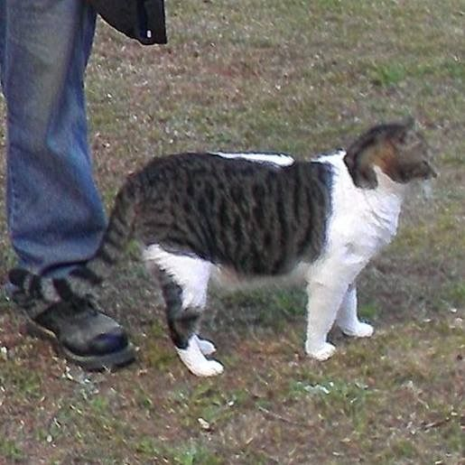 Lost Cat Male Peachtree City, GA, USA 30269 (With
