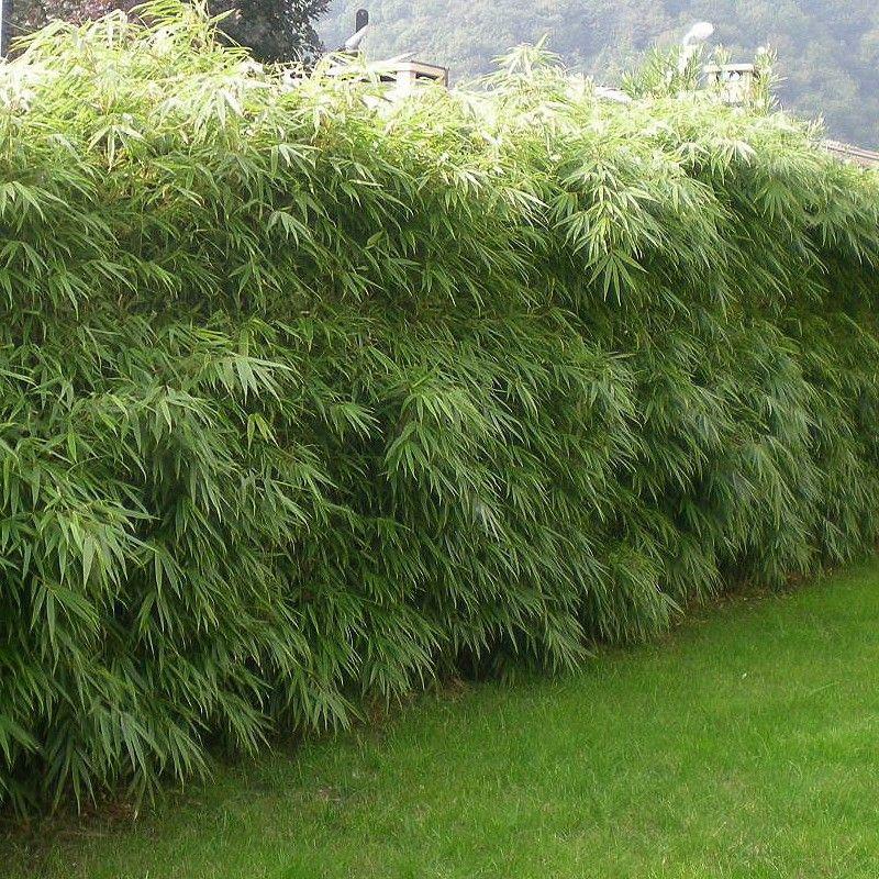 Fargesia rufa - Bambou spécial Haie NON-TRAÇANT en POT de 1 litre ...