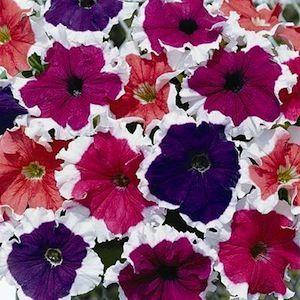 Frost Mix Petunia Annual Flower Seeds Petunia Flower Flower