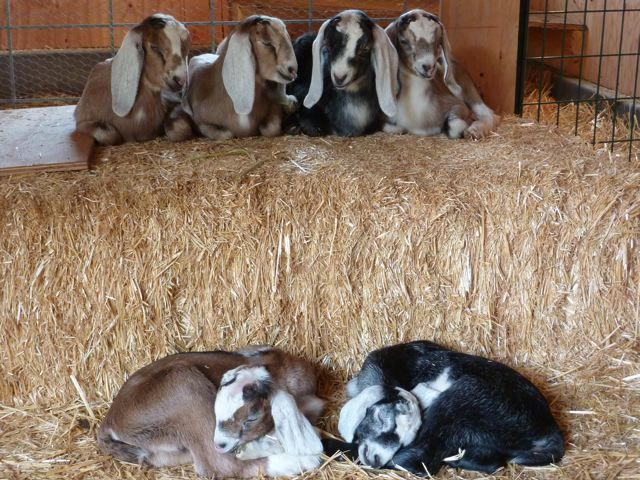 The most lovely goats..