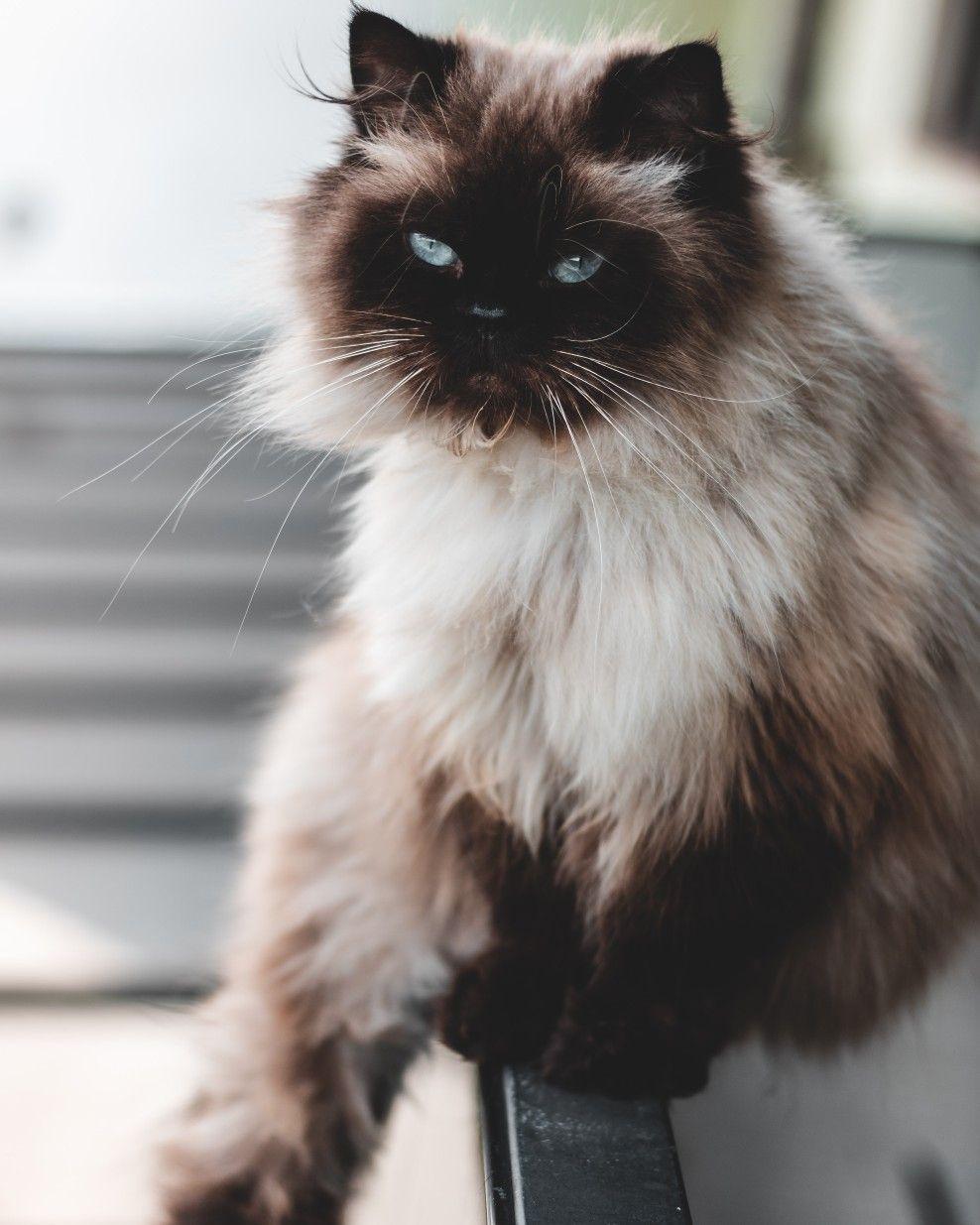 Lunesgatunos Gato Persa Exotico Gato Persa Gatos
