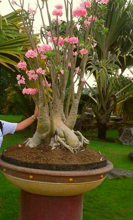 Pin By Chaydecena On Bonsai Desert Rose Bonsai Plants