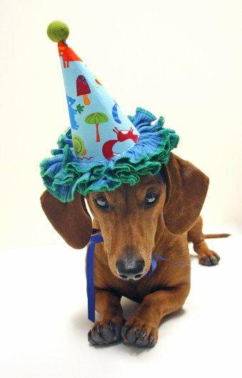 Birthday Week My Presents Dachshund Birthday Happy Birthday