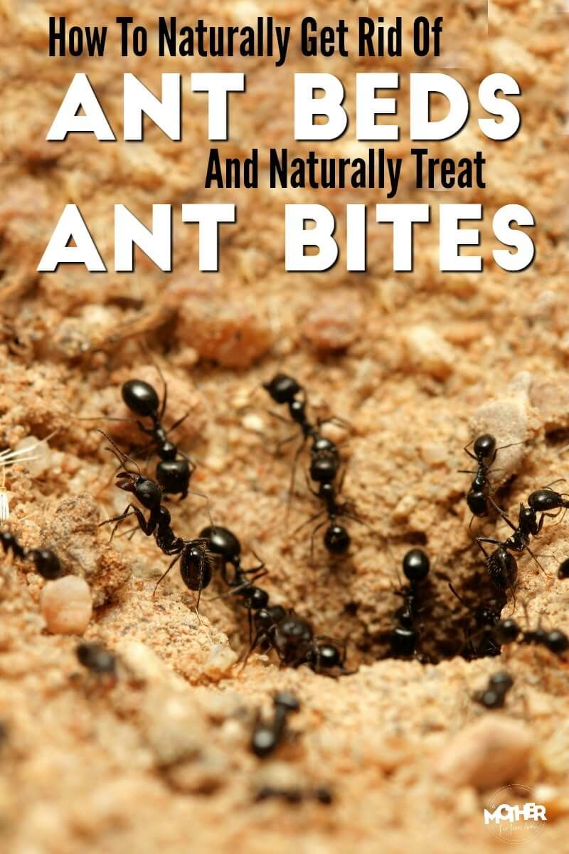 How to Get Rid of Ant Beds and Treat Ant Bites Naturally   All ...