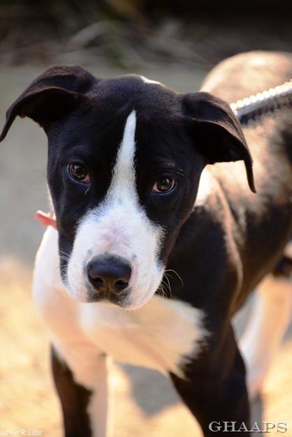 English Bulldog Puppies For Sale Akclassy Com