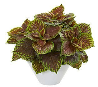 Coleus Plant in White Planter Real Touch by Nea rly ...