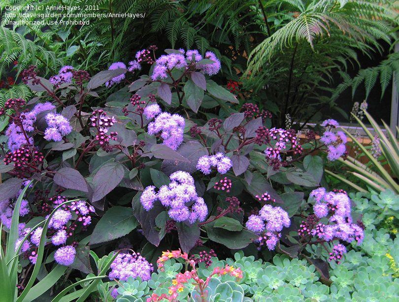 Flattop Ageratum, Butterfly Mist (Ageratum Corymbosum)