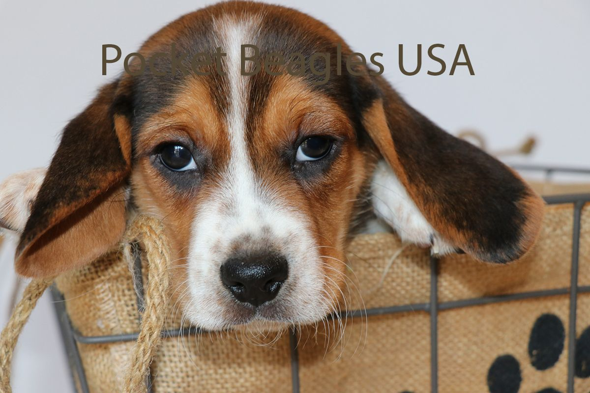Pocket Beagle Baby From Pocket Beagles Usa Family Owned Kennel That Has Been In Business For Over Twenty Pocket Beagle Pocket Beagle Puppies Miniature Beagle