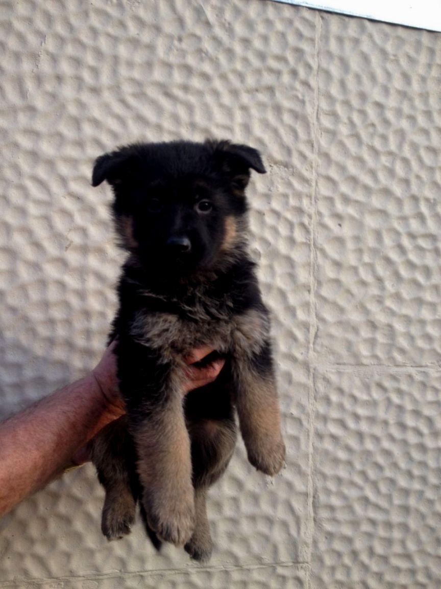 8 Week German Shepherd Puppy German Shepherd Puppies Puppies