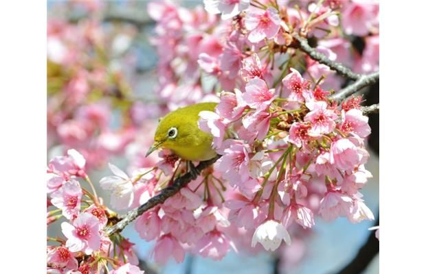 Edmonton Journal Cherry Blossom Japan Cherry Blossom Cherry Blossom Season