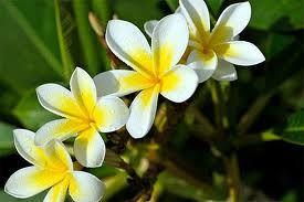 Fleur Madagascar Fleurs De Madagascar Pinterest Madagascar