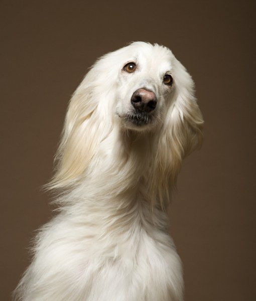 10 Cool Facts About Afghan Hounds All About The Breed Hound