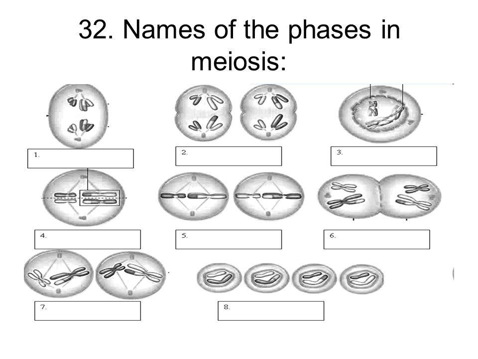 ผลลัพธ์รูปสำหรับ meiosis stages worksheet | Education | Pinterest ...