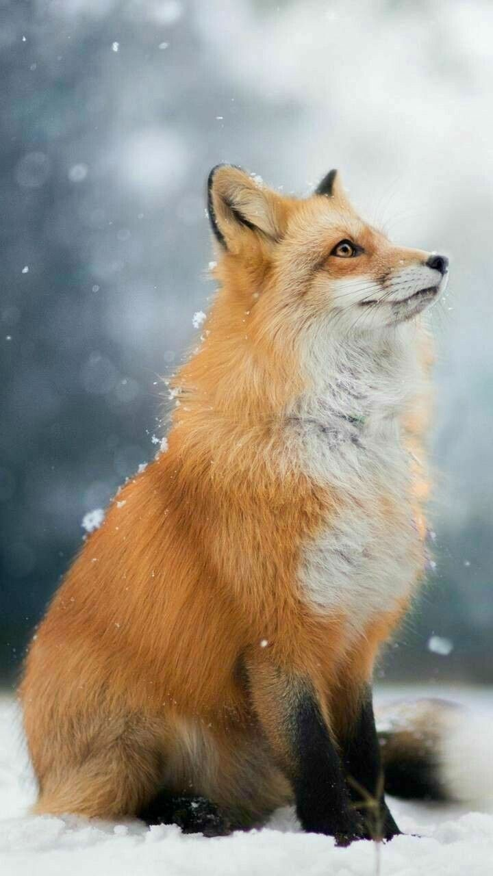 I adore the cute fox 🦊 Cute animal photos, Cute animal