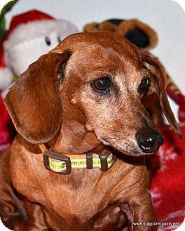 Spokane Wa Dachshund Meet Minnie Sweet Female 150 Fee A Dog For Adoption I Am Already Spayed Housetrained Dachshund Dachshund Adoption Dachshund Lovers