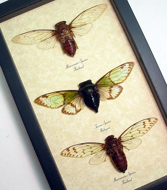 3 Real Cicada Collection Real Framed Insect by REALBUTTERFLYGIFTS ...
