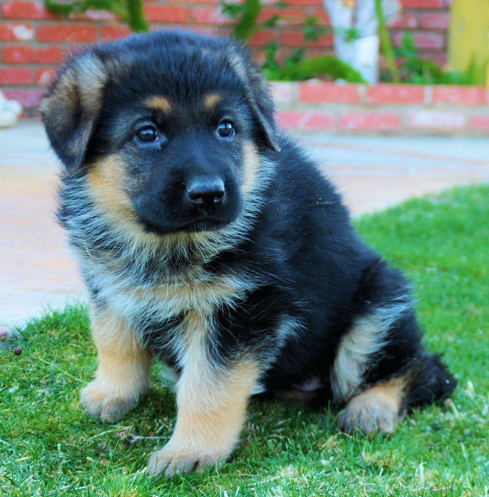 This is Sheamus when he was little. German Shepherd