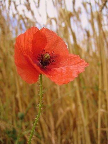 Poppy Seeds Nutritional Value Git Iiiittt Pinterest Amapolas