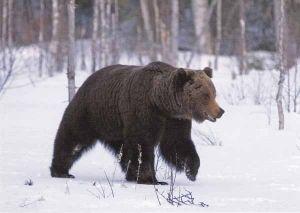 Talvella karhut nukkuvat talviunta. Kesällä ne saalistavat. Karhut ovat peto eläimiä. Kirjoittanut: Meea