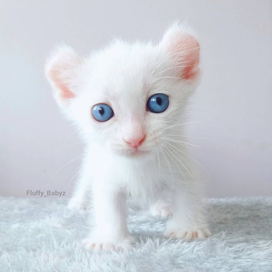 From Fluffy Babyz Double Tap Follow Happycatclub And Tag Happy Cats In 2020 Albino Cat Baby Cats Beautiful Cats