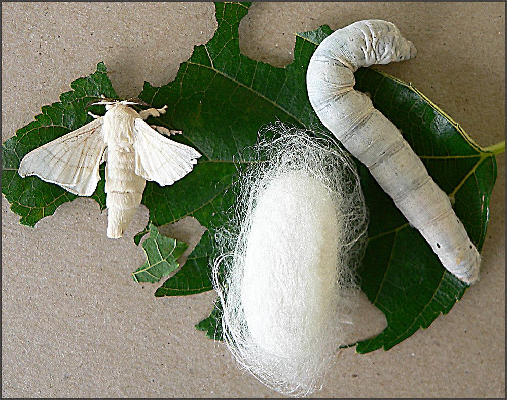 Image result for cocoon sywurm