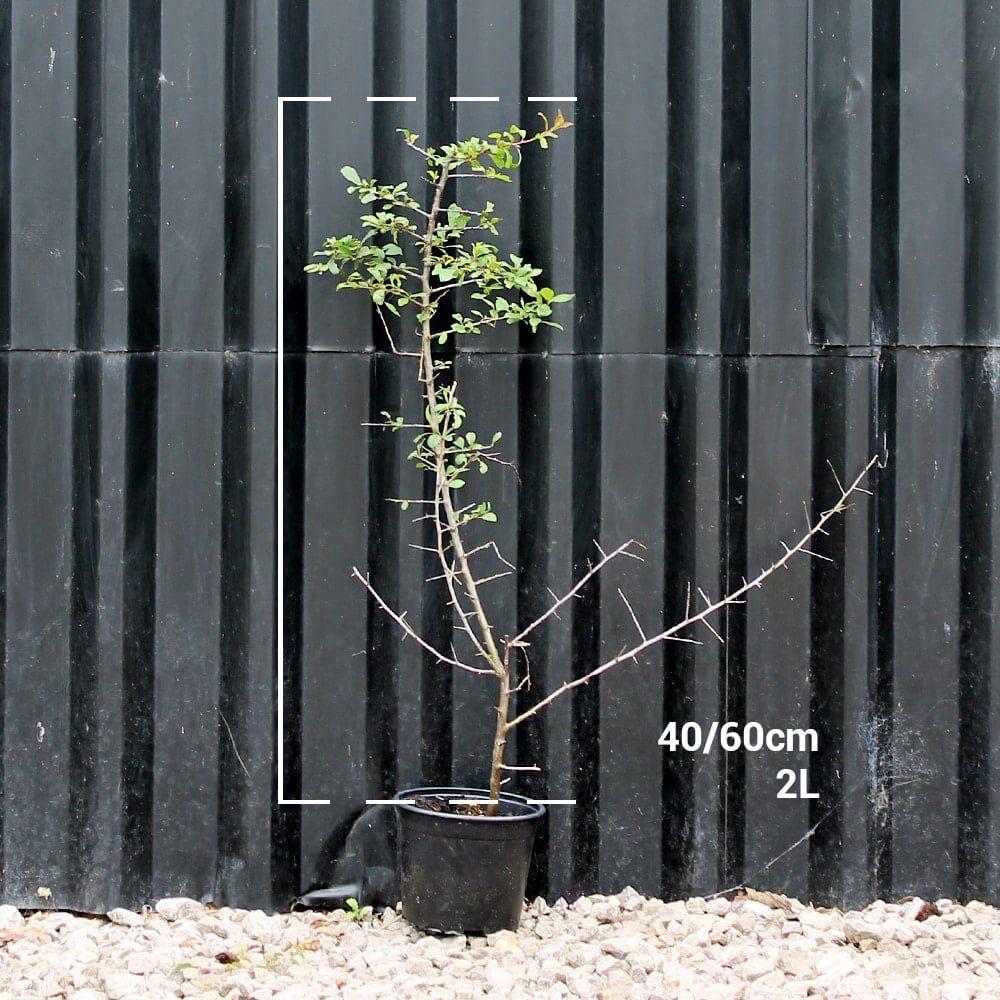 Blackthorn hedge plants Hedging plants, Plants, Hedges